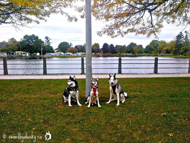 #WalkYourDog Autumn Beauty With The Huskies