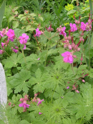 Ma plan te jardin geranium macrorrhizum un couvre sol rustique et tr s solide - Beau jardin rose and geranium ...