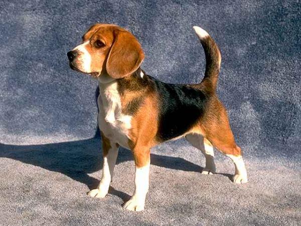 Foto Anjing Beagle