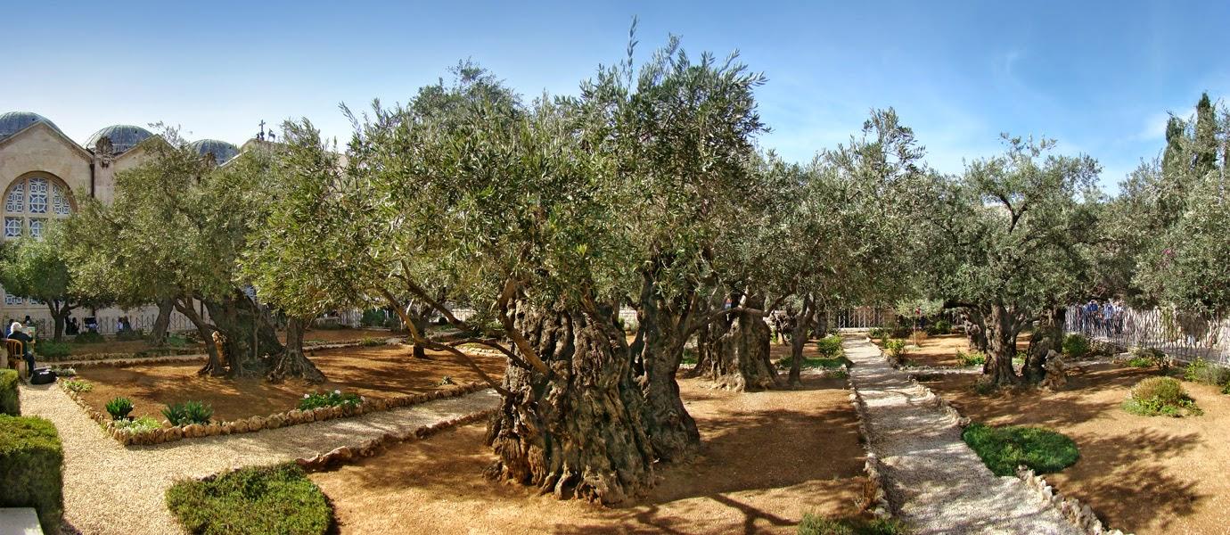 Oliveiras do Jardim do Getsêmani - Jerusalém