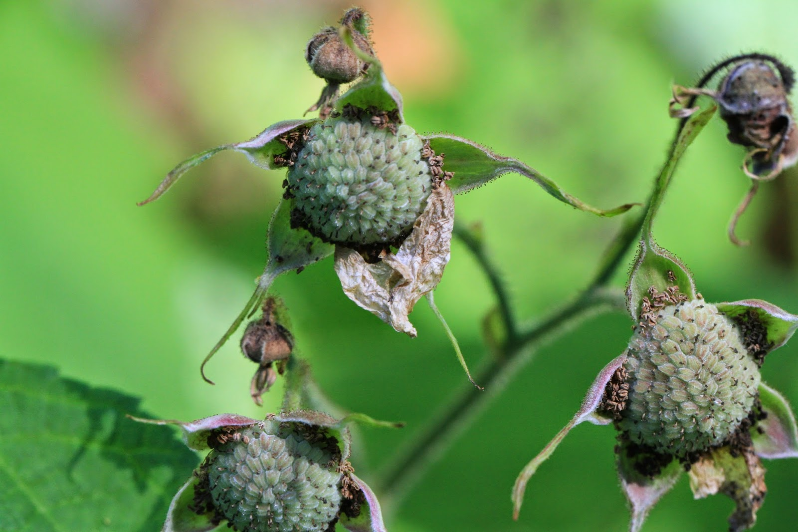 Rubus parviflorus (Thimbleberry) Immature Fruit
