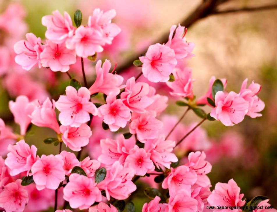 Pink Flowers Wallpapers HD Pictures  One HD Wallpaper Pictures