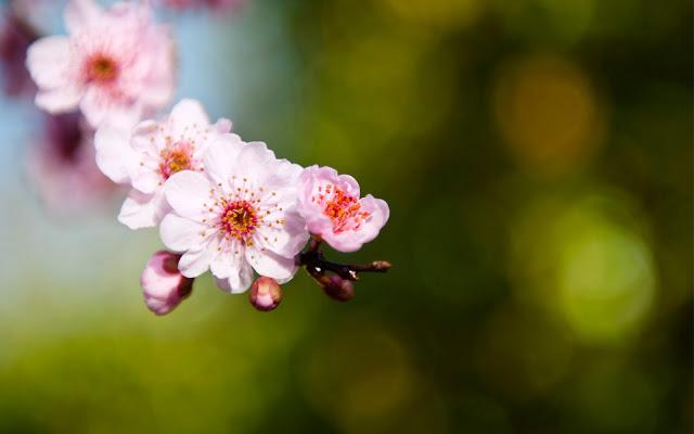 Flores de Sakura Rosadas Imagenes de Flores en HD