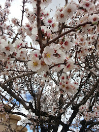 Blooming apricot tree ...