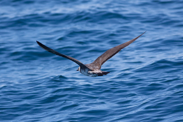 Long-tailed Skua, Scilly