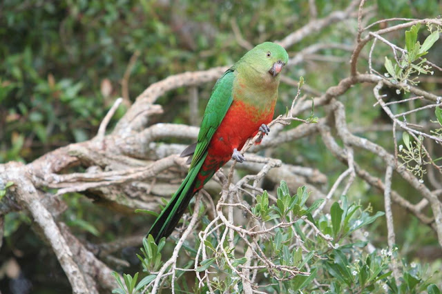 Australian King Parrot, http://danielssierra.blogspot.com/