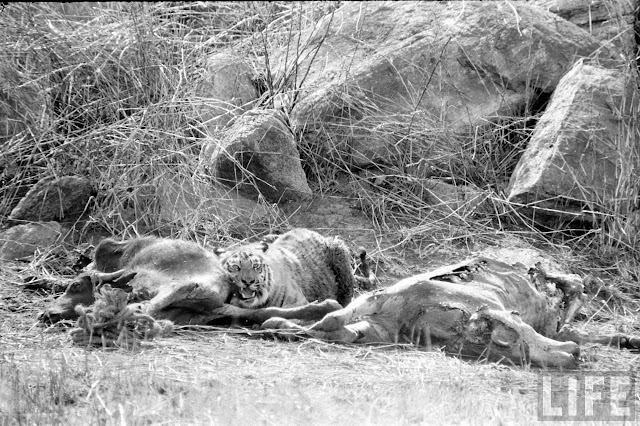 Tiger+Hunting+Photographs+of+India+-+1965+%252816%2529