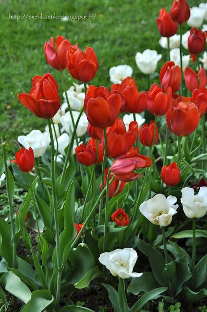 красные и белые тюльпаны