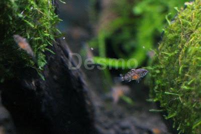 Sp.タメ 幼魚