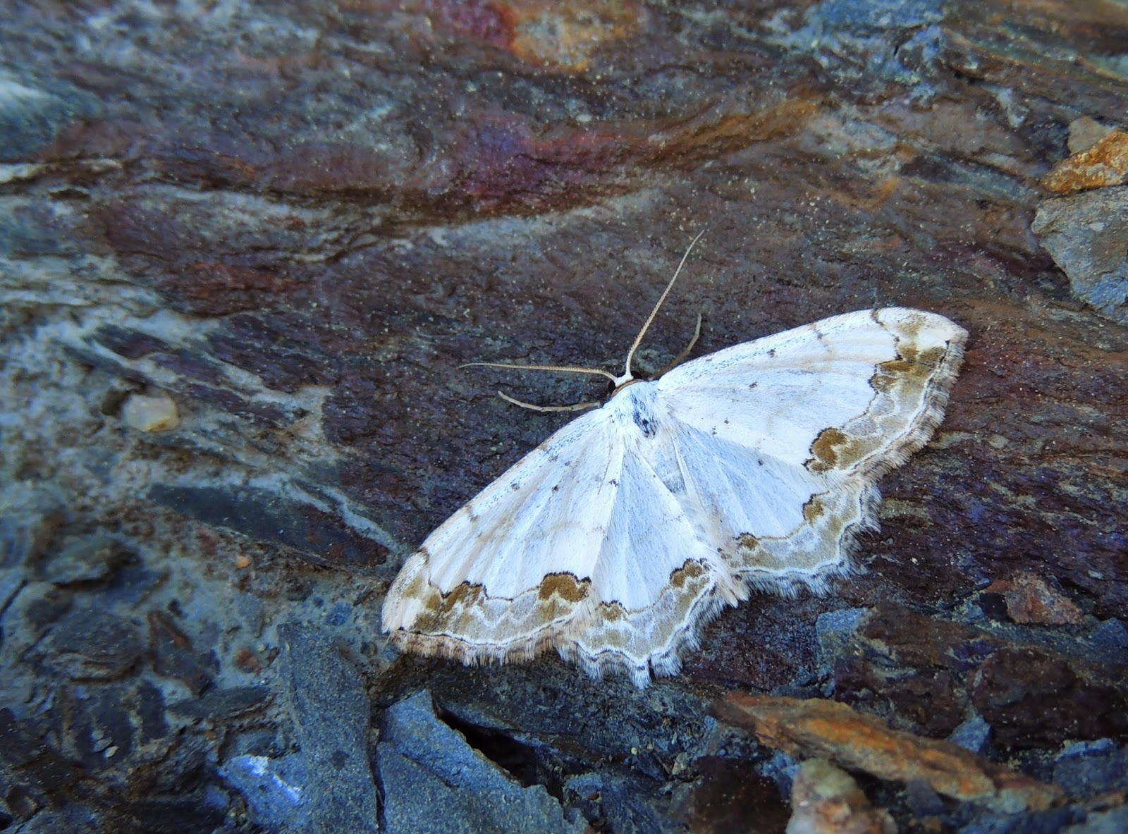 Scopula ornata