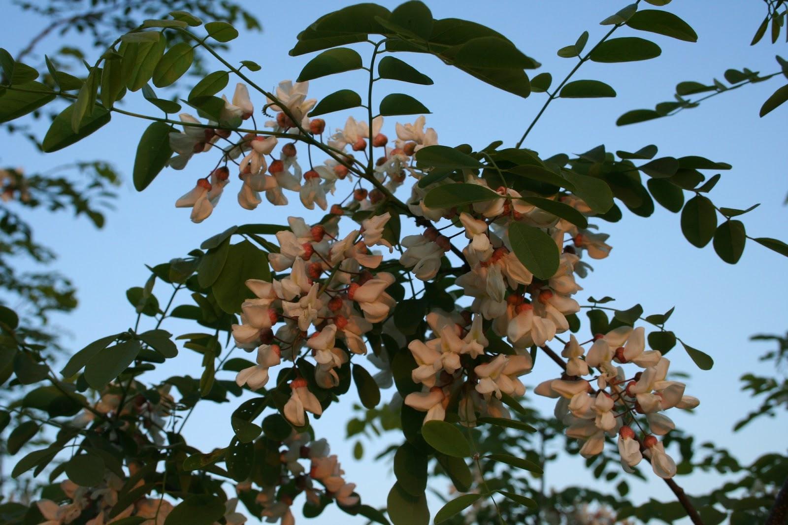 Hoot Owl Karma More Blooming Trees Black Locust