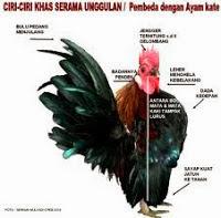 ciri ayam serama yang baik