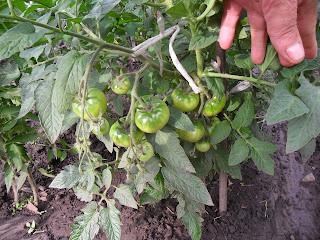Для сравнения - обычные помидоры, начало июля