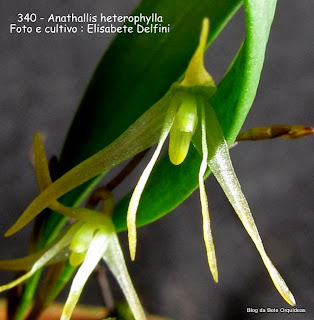 Pleurothalis heterophylla, Specklinia heretophylla, Pleurothallis hoehnei
