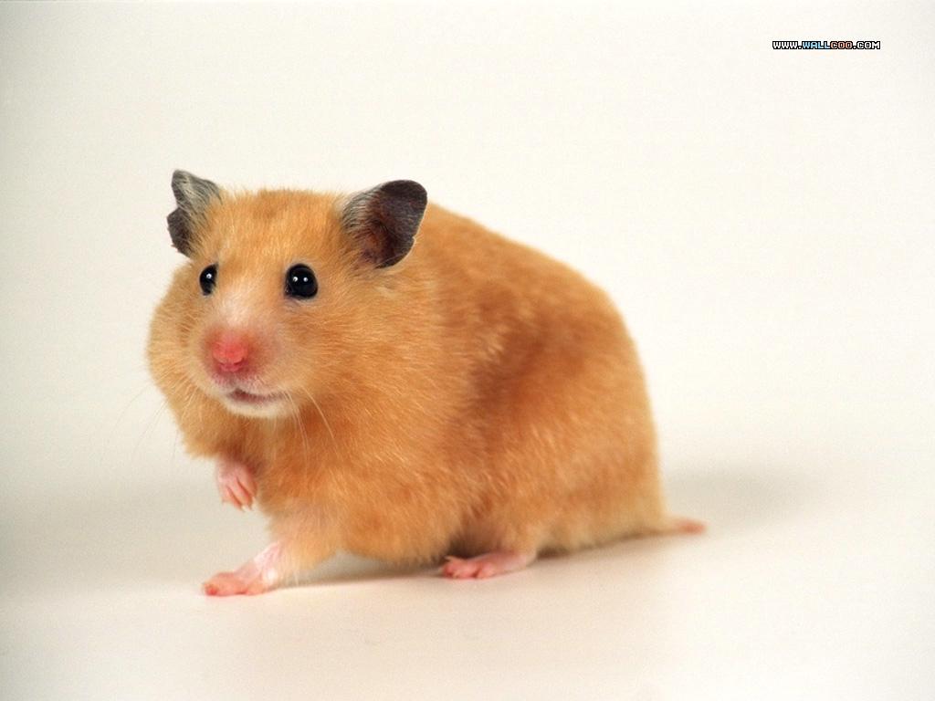 http://3.bp.blogspot.com/-67116QD8neI/UKzPd1aSLgI/AAAAAAAAKag/FY1ZL3RSEGY/s1600/Funny+Hamster+Wallpaper.jpg