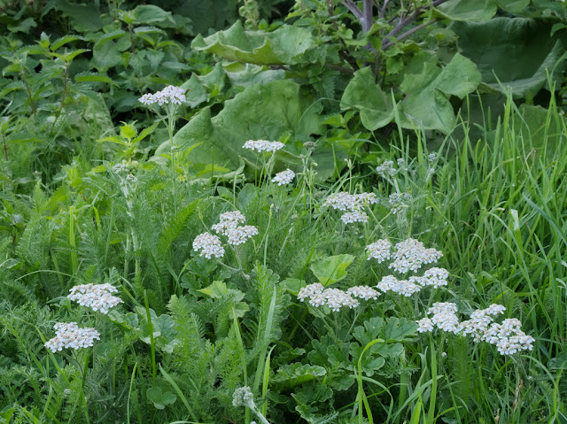 Yarrow flowers in grass and other non flowering plants