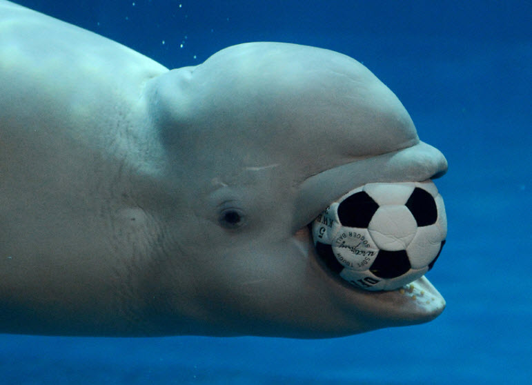 Beluga whales pictures - photo#18