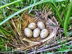 Huevos de Gallineta