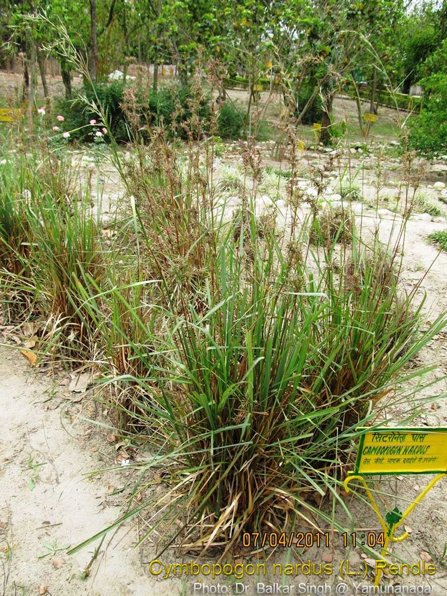 effectiveness of lemon grass cymbopogon marginatus In india, urbanization, excessive utilization of natural resources, and population growth are the causes for air, water, and soil contamination and pollution major environmental problems in india.