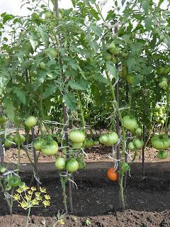 Кусты индетерминантных помидоров формирую в два стебля
