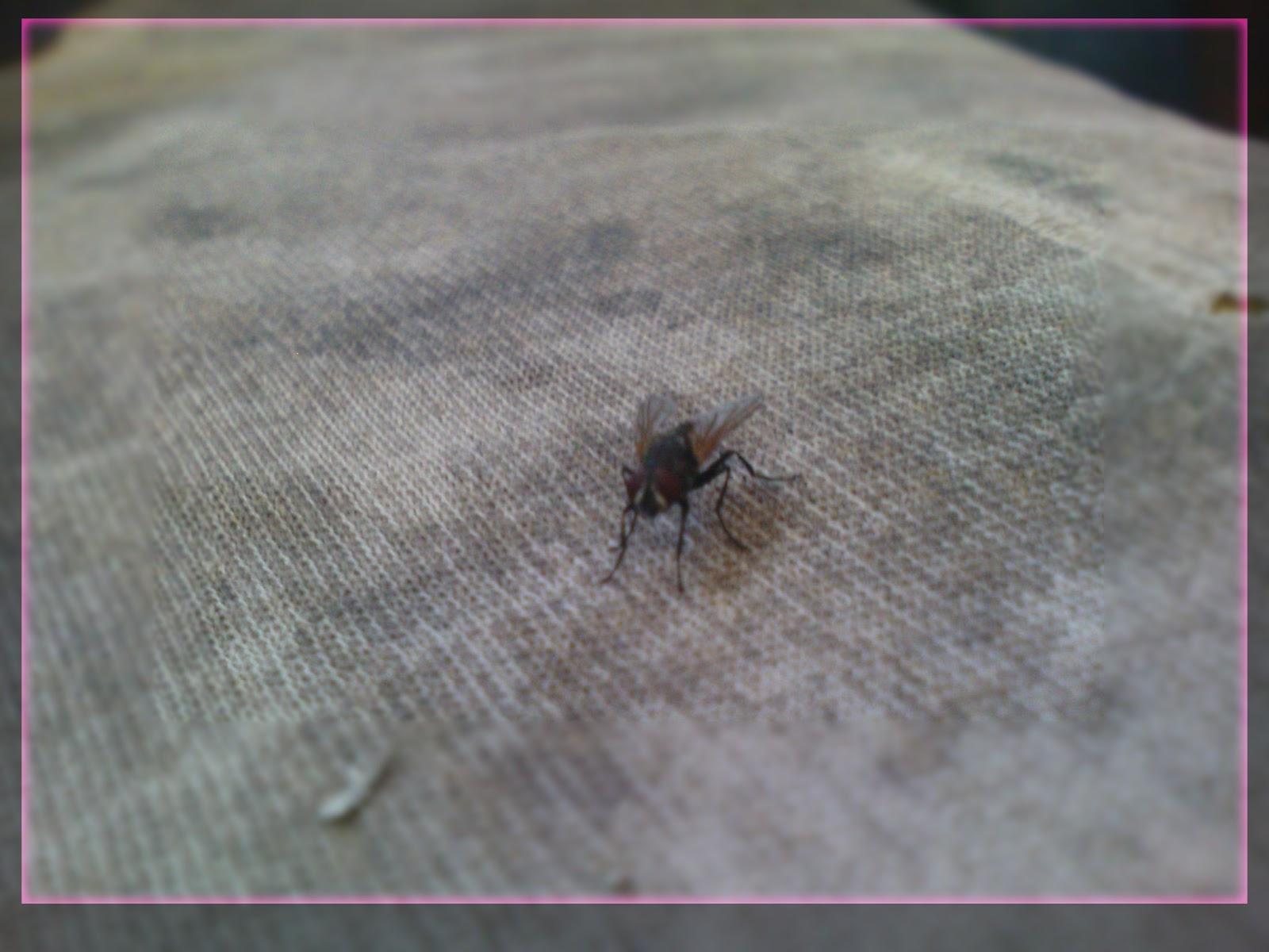 lalat, download lalat, siklus hidup lalat, klasifikasi lalat, lalat ...