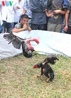gambar ayam saigon