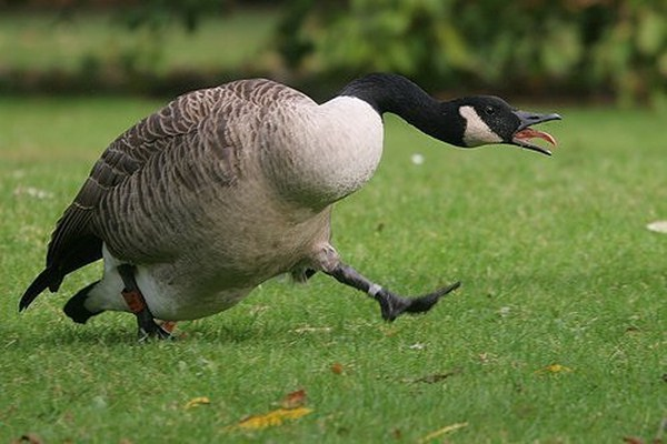 angry goose, funny animal pictures, animal pics