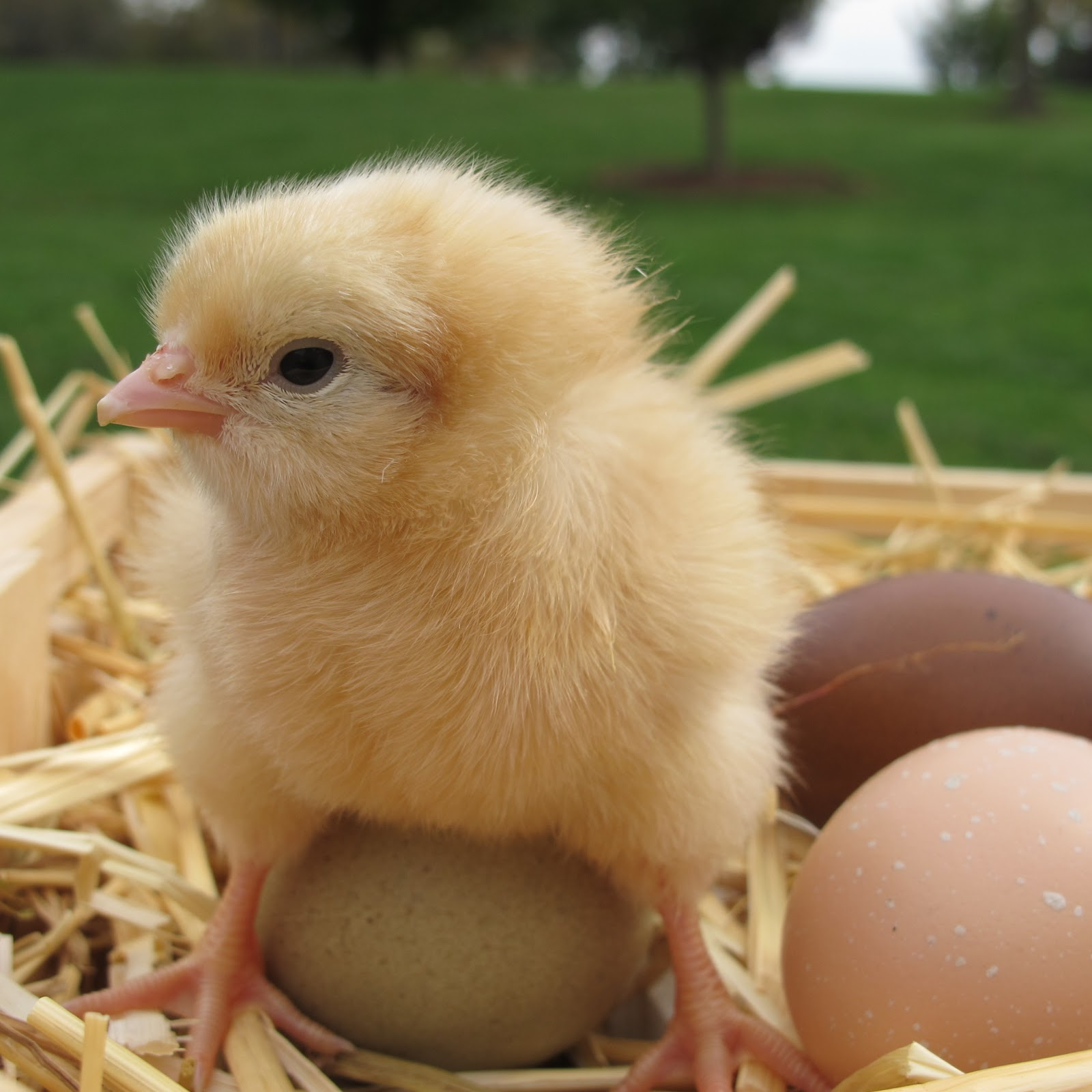 My Favorite Photos of Baby Chicks | The Chicken Chick®