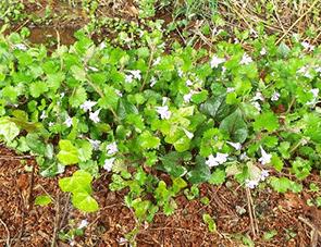 茎が地を這ってどんどん伸びていくカキオドシ
