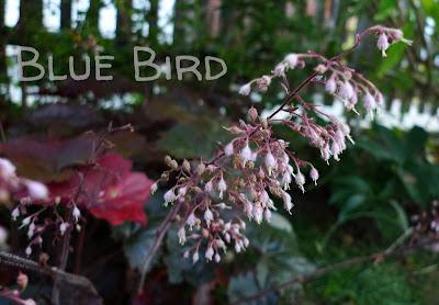 Garten im September - Purpurglöckchen