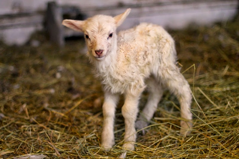 Daisy Icelandic cross lamb