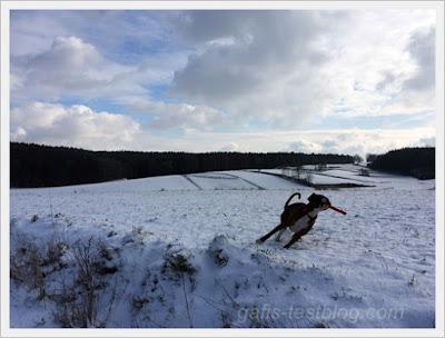 Boxer Amy beim Spielen im Schnee