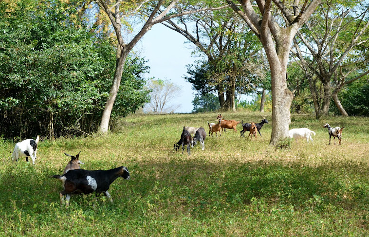 Goatfarm Tobago