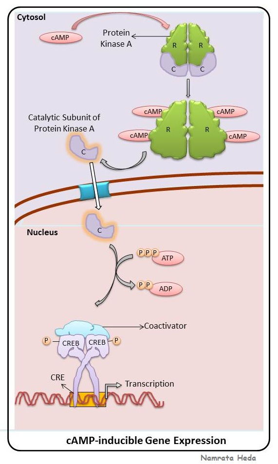 B for Biology: Signal Transduction Pathway - The cAMP Pathway