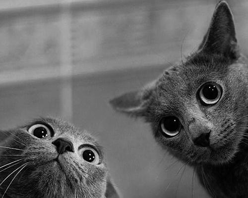 gatos grises con ls ojos muy abiertos
