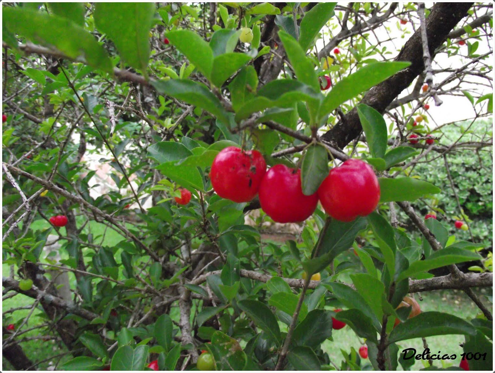 meu pomar horta jardim acerola delícias 1001delícias 1001