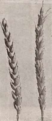 Παραδοσιακές ποικιλίες και βελτίωση του σιταριού στην Ελλάδα