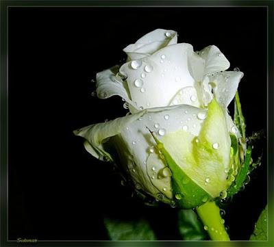 hình ảnh ddepj hoa hồng bạch, hồng trắng