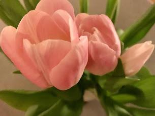 Tulpaner från Ida
