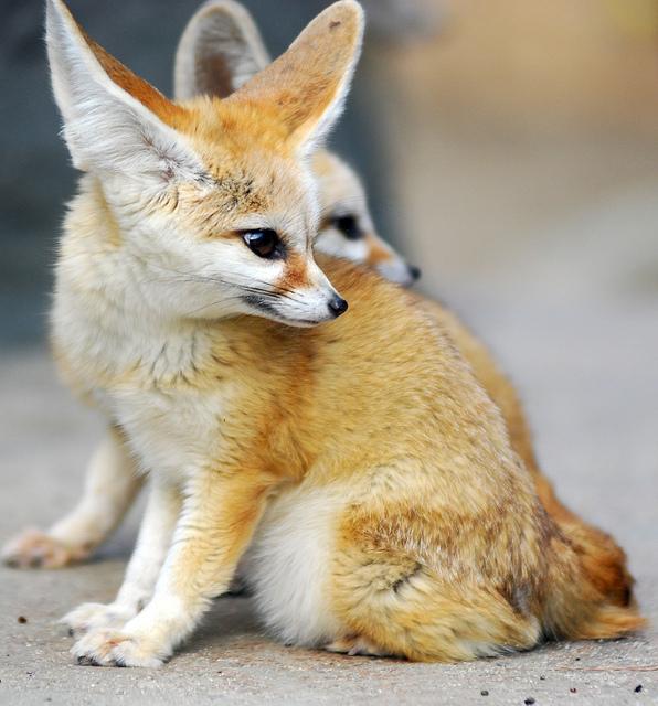 Fennec Fox Or Fennec Cuteanimalsworld