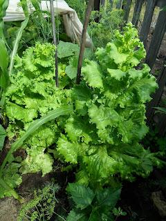17 июля, салат отставленный на семена