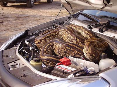 Casal dirige por quilômetros com cobra de quase cinco metros no motor do carro Snake-3_1579274a