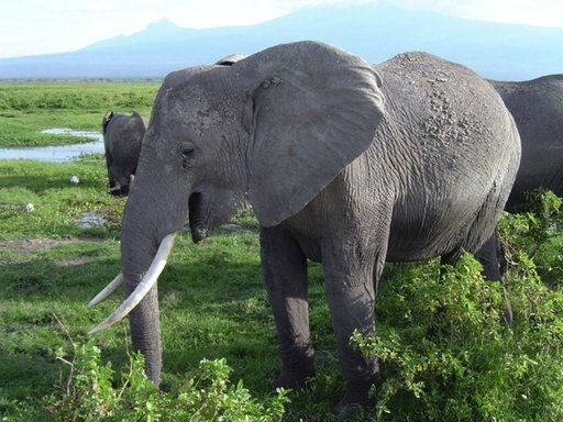 Rahasia Panggilan Keras Gajah Terungkap !! [ www.BlogApaAja.com ]