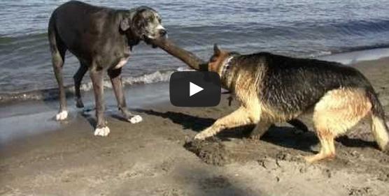 Pitbull Dog Vs German Shepherd Fight