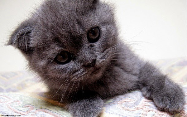 Photo petit chat gris