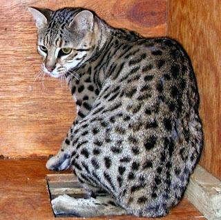 Kucing Safari