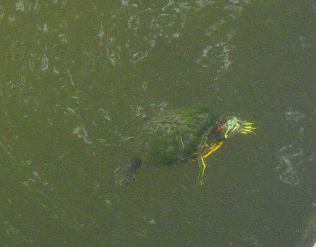 Red Eared Slider turtle coming up for air at White Rock Lake, Dallas, Texas