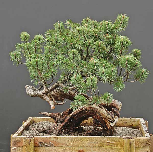 walter pall bonsai adventures mugo pine 32 coming along nicely. Black Bedroom Furniture Sets. Home Design Ideas