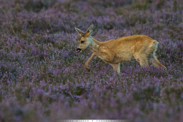 Reekalf - Roe Deer calf - Capreolus capreolus
