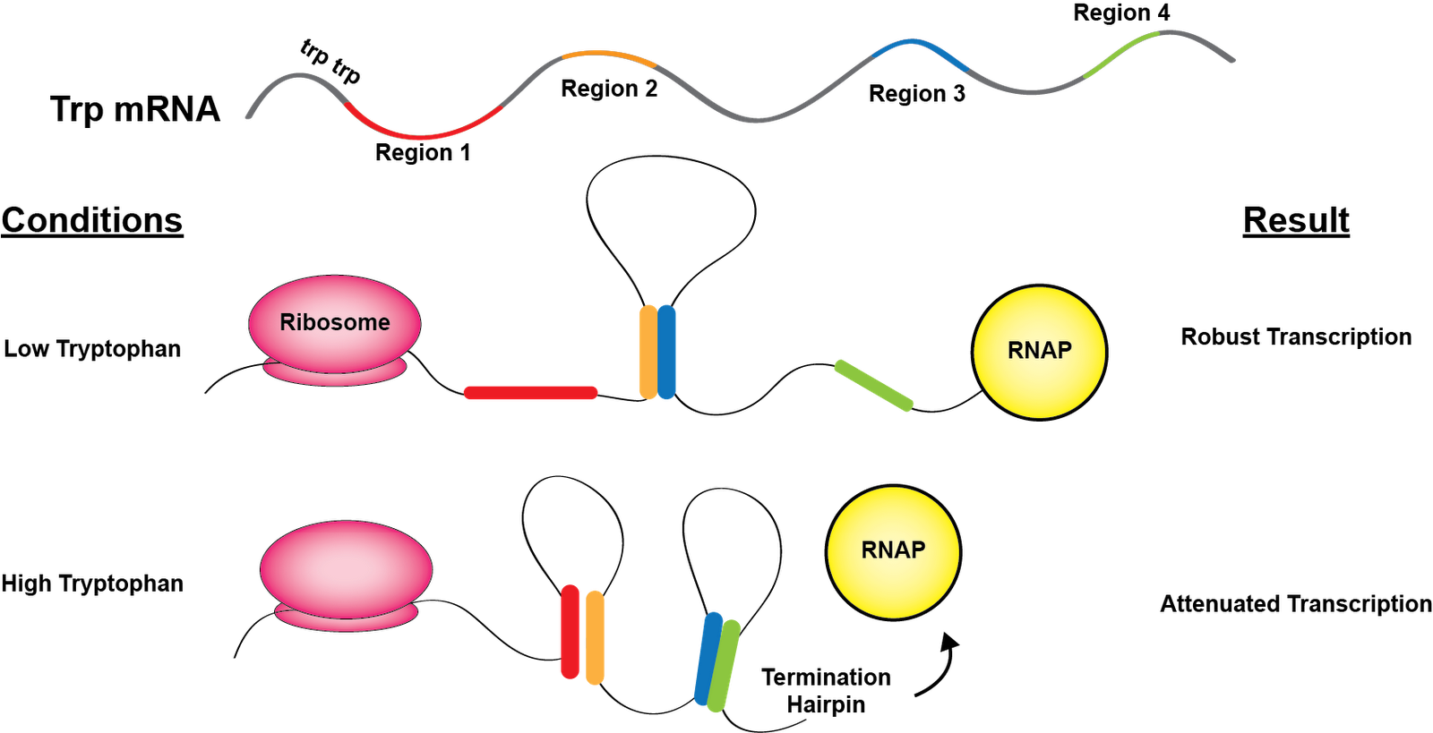 Poor, Hungry, and Drowsy: The Trp Operon